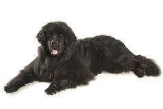 Newfoundland dog. Isolated on white royalty free stock images