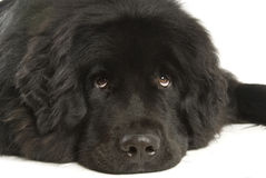 Newfoundland dog stock photography