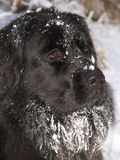 Newfoundland dog. Covered with snow Stock Photo
