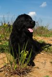 Newfoundland dog. With the grass and and sand Royalty Free Stock Image