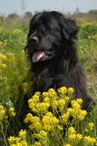 Newfoundland dog. In the grass and colza flowers Stock Image