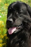 Newfoundland dog. In the grass and colza flowers Stock Photos