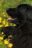 Newfoundland dog. In the grass and dandelions Stock Images