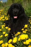 Newfoundland dog. In the grass and dandelions Royalty Free Stock Images