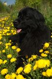 Newfoundland dog. In the grass and dandelions Stock Photos