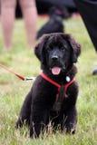 Newfoundland dog. Cute little Newfoundland puppy dog royalty free stock photos