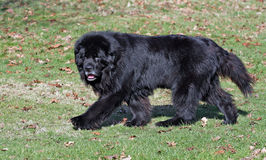 Free Newfoundland Dog Stock Image - 8257601