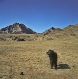 Newfoundland dog. And the mountains Stock Images