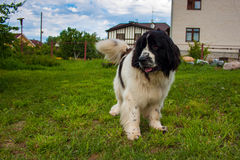 Newfoundland dog in the backyard. In summer Stock Image