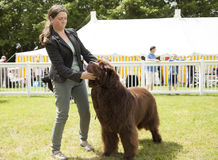 Newfoundland dog being judged at Staffordshire County Show. Staffordshire, England - June 01,2017 : Cute Newfoundland dog being judged at Staffordshire County Stock Photos