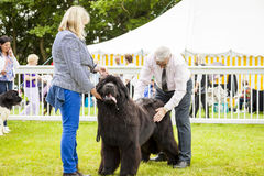Newfoundland dog is  being judged at Staffordshire County Show. Staffordshire, England - June 01,2017 : Cute Newfoundland dog slobbering as he is  being judged Royalty Free Stock Photography