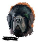 Newfoundland dog with big muzzle watercolor portrait, poster with text. Digital art of purebred canine origitated from. Newfoundland dog with large muzzle stock illustration