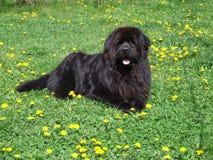 Newfoundland Dog. Black - dandelion meadow; rescue dog stock images