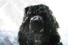 Newfoundland dog. Black newfoundland dog enjoying snow Stock Photos