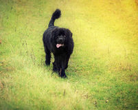 Newfoundland dog Royalty Free Stock Photography