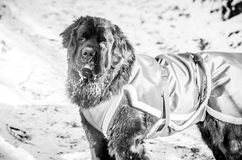 Newfoundland dog closeup in winter. Portrait of cute black newfoundland dog in winter, monochrome, black and white stock photo