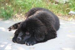 Newfoundland dog Stock Image