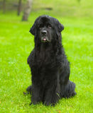 Newfoundland dog in front Royalty Free Stock Photography