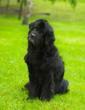 Newfoundland dog in front. Un the garden royalty free stock images
