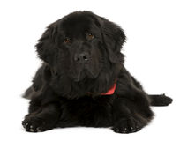 Newfoundland dog, in front of white background Stock Image