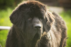 Newfoundland dog head close up royalty free stock photos