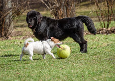 Newfoundland dog and Jack Russell Terrier. Black vs White. Big vs Small Royalty Free Stock Images
