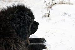 Newfoundland dog Royalty Free Stock Images