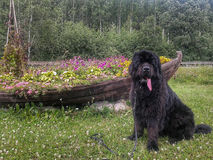 Newfoundland dog Royalty Free Stock Photos