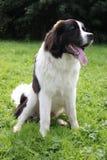 Newfoundland dog portrait sat on field Stock Image