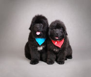 Newfoundland Dog puppies Stock Photos