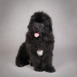 Newfoundland Dog puppy stock image