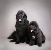 Newfoundland Dog puppy Stock Images