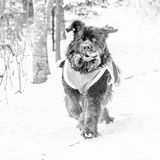 Newfoundland dog running royalty free stock image