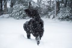 Newfoundland dog santa christmas cute xmas valentine love. Winter snow white isolated playing Stock Images