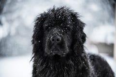 Newfoundland dog santa christmas cute xmas valentine love. Winter snow white isolated playing Stock Image