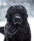 Newfoundland dog santa christmas cute xmas valentine love. Winter snow white isolated playing Stock Photography
