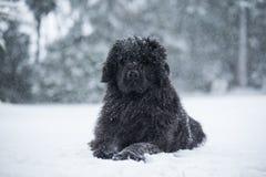 Newfoundland dog santa christmas cute xmas valentine love. Winter snow white isolated playing Royalty Free Stock Photos