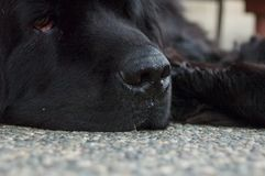 Newfoundland Dog Black stock images