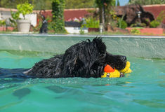 Newfoundland dog in swimming pool Royalty Free Stock Photo