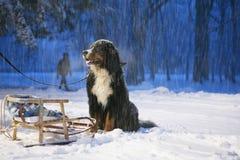 Newfoundland dog waiting for owner on Christmas Eve Royalty Free Stock Images
