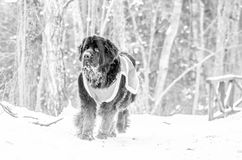 Newfoundland dog walking stock photos