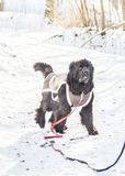 Newfoundland dog in winter happy royalty free stock photography