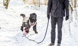 Newfoundland dog in winter and his master. Newfoundland dog in winter forest with snow wearing clothes stock images