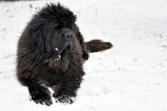 Newfoundland dog. On winter lying on snow Royalty Free Stock Photography