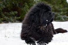 Newfoundland dog on winter. Royalty Free Stock Images