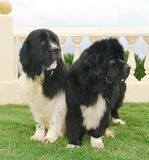Newfoundland dogs Royalty Free Stock Images