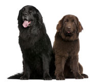 Newfoundland dogs, 7 and 10 years old, sitting. In front of white background stock image