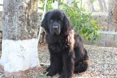 Newfoundland Dogs. Canadian Breed, Newfoundland, Newfies, rescue dogs in the water and the best baby sitters for the kids, Gentle Giants with the biggest and stock photography