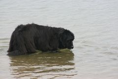 Newfoundland dog. S love the water and have been used in water rescues Royalty Free Stock Photography
