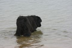 Newfoundland dog. S love the water and have been used in water rescues Royalty Free Stock Photo